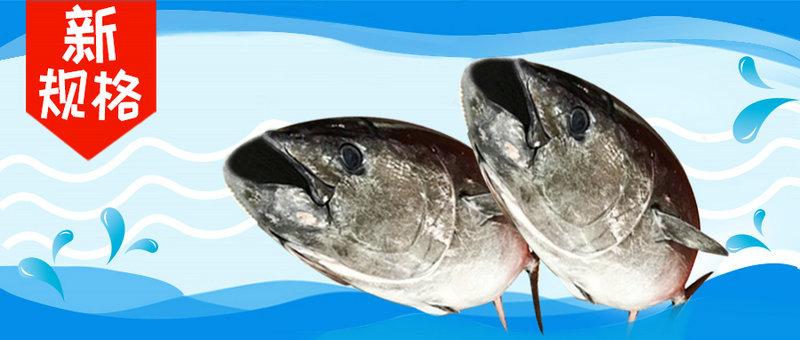 新规格蓝鳍金枪鱼
